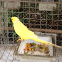 Yellow Ringneck Parrot