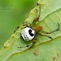 Kidney Garden Spider/Pale Orb Weaver