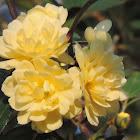 Yellow Lady Banks Rose
