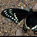 Cleotas Swallowtail