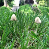 White Dunce Cap Mushroom