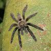 Costa Rican orangemouth tarantula
