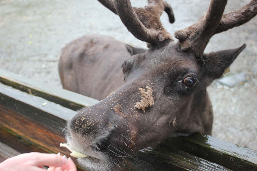 moose - The reindeer would come right up close, at the Alaska Wildlife Foundation, outside Ketchikan, as long as you had something it wanted.