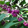 American beauty bush