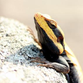 Lizard by Karthic Kumar - Animals Reptiles ( lizard, color, chameleon )