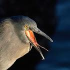 Garza de lava (Lava heron)