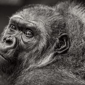 Desperation by Eva Lechner - Animals Other Mammals ( desperation, lowlandgorilla, expressive, close-up, portrait )