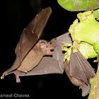 Long-tongued Bat