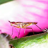 banana stalk flies (cactus flies)