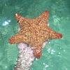 estrella cojín  - red cushion sea star