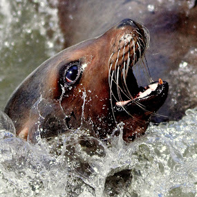 SeaLion by Ralph Harvey - Animals Sea Creatures ( wildlife, ralph harvey, longleat, sealion, animal,  )