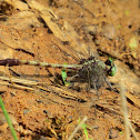 Gray-green Clubtail