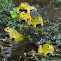 Asean Bullfrog