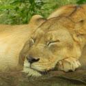 Asiatic Liones
