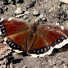 Mourning Cloak