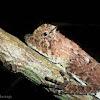 Hump- nosed Lizard