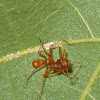 ant mimic spider & dead weaver ant