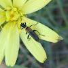 escarabajo, edemérido?
