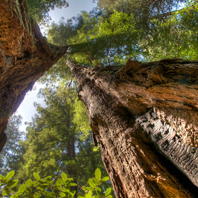 Redwoods by Jim Salvas - Nature Up Close Trees & Bushes ( redwoods, trunk, tree, california, trunks, trees, leaves, sunlight, muir woods, tall )