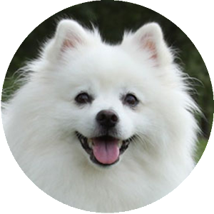 Free apkdl  American Eskimo Dog Wallpapers  for all LG mobiles