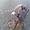 horn eyed ghost crab