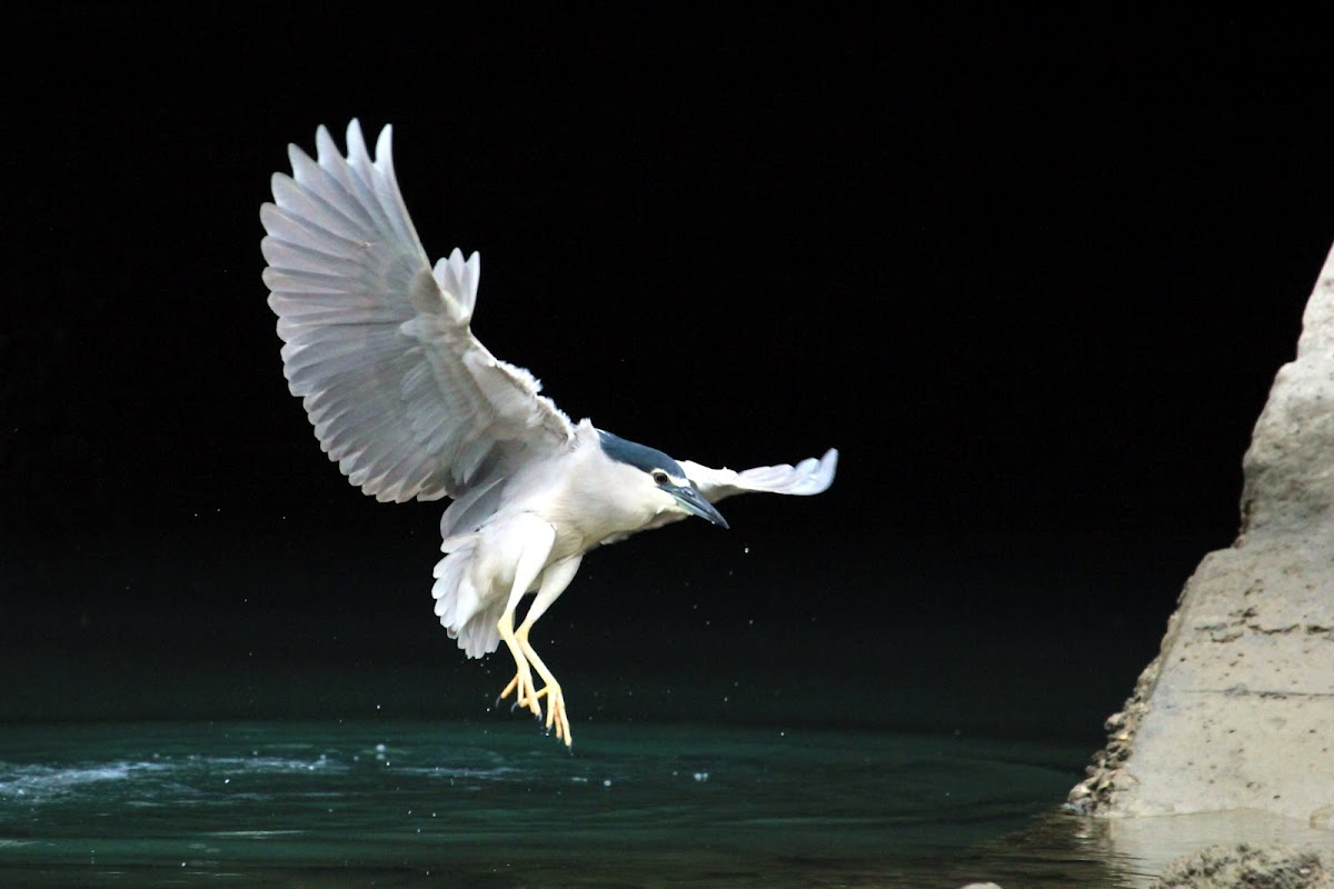 Black-Crowned Night Heron (夜鷺)
