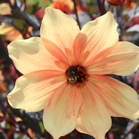 Longwood Gardens - Dahlia by Bharath Iyer - Flowers Single Flower