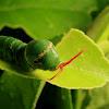 common mormon [caterpillar]