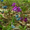 Spring vetchling / Пролетно секирче