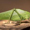 Leaf Katydid