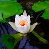 Water lily ( white )