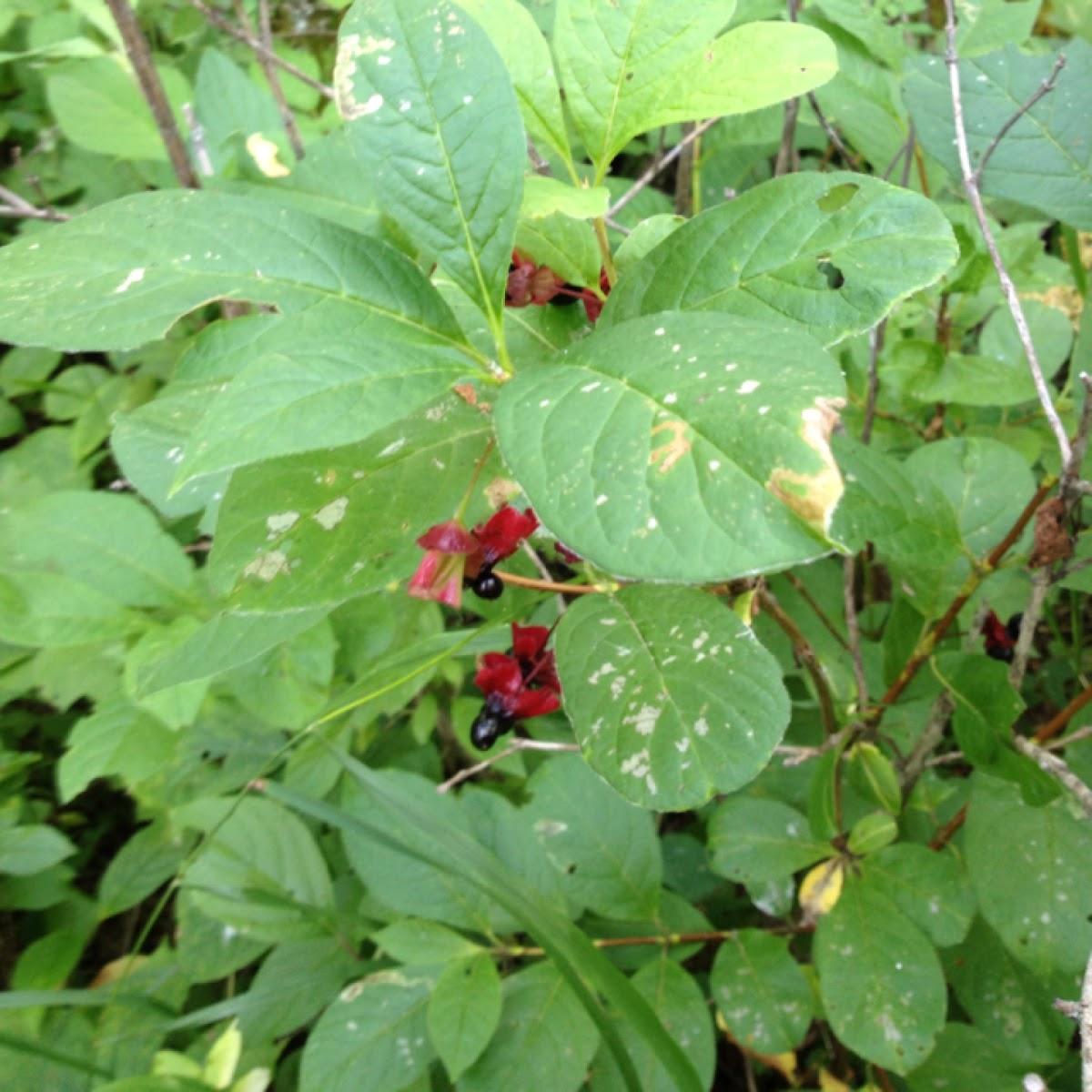 Black Twinberry or Bracted Honeysuckle