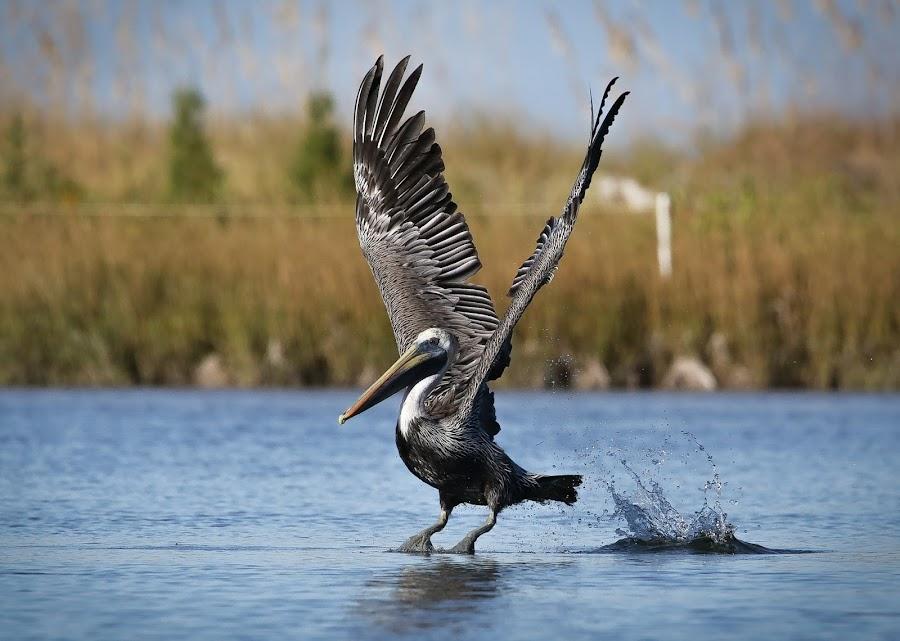 Perfect Landing by Jared Lantzman - Animals Birds ( water, bird, nature, wings, nest, fishing, hungry, pelican, birds, , fly, flight )