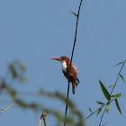 White throated-kingfisher