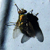 Common Greenbottle Blowfly