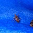 Knapweed Root Weevil