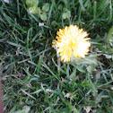 Yellow spiky Dahlia