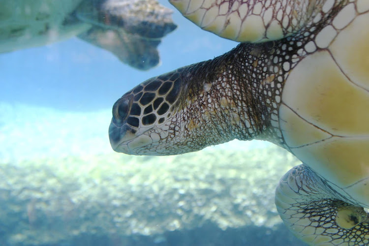 A sea turtle in Maui. The Maui Ocean Center makes it easy to learn about the ecology of marine creatures in Hawaii.