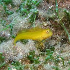 Golden goby