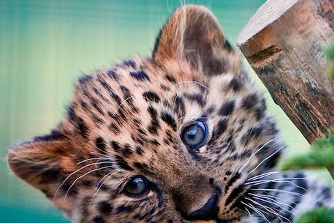 【免費娛樂App】Leopard Wallpaper LWP-APP點子