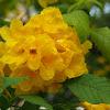 Yellow bells / Trumpet tree / Golden bells