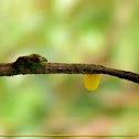 Green Longwing Butterfly egg