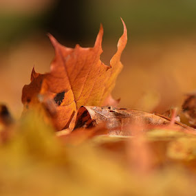 the leaf by Stine Engelsrud - Nature Up Close Leaves & Grasses ( fall leaves on ground, fall leaves, nature, colorful, color, fall )
