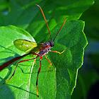 Gasteruptiid Wasp