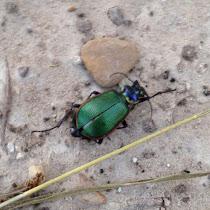Beetles of Texas