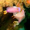 Nudibranch Chromodoris bullocki