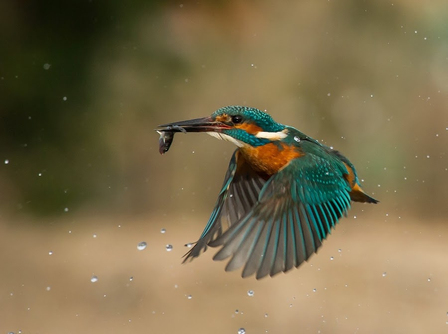 Kingfisher with fish by Øyvind Håvarstein-Hustoft - Animals Birds