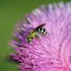Agapostemon Sweat Bee