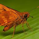 Orange Palmdart