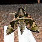 Jade Hawk Moth